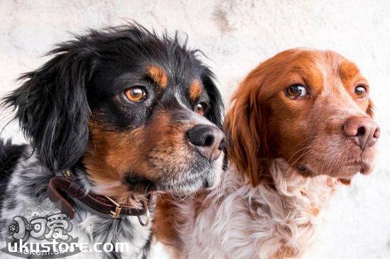 布列塔尼犬耳朵怎么清洁 布列塔尼犬耳朵清洁护理流程1