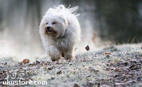哈瓦那犬耳朵怎么清洁 哈瓦那犬耳朵清洁护理流程1