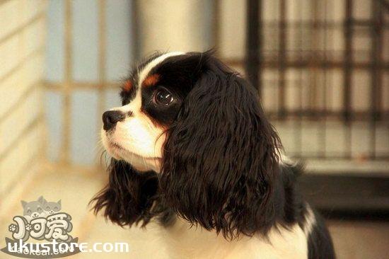 骑士查理王小猎犬耳朵怎么清洁护理流程1