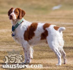 布列塔尼犬性格怎么样 布列塔尼犬性格介绍