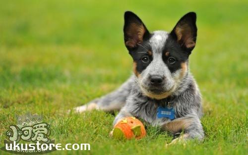 澳大利亚牧牛犬怎么护理 澳大利亚牧牛犬护理方法