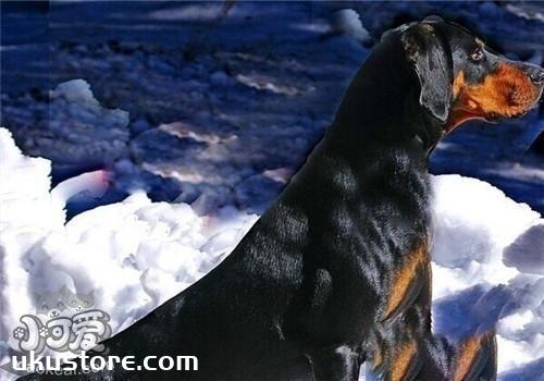 黑褐猎浣熊犬性格怎么样 黑褐猎浣熊犬性格特点介绍