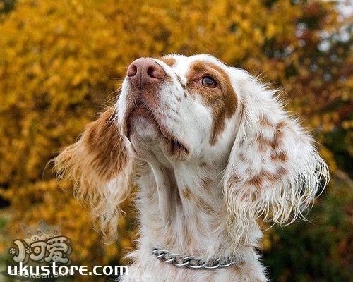 英国雪达犬养之前要准备什么 英格兰雪达犬饲养准备