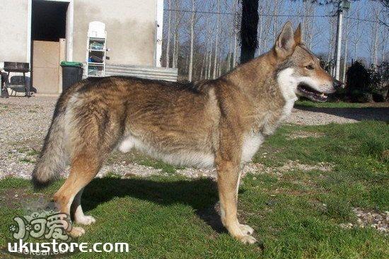 捷克狼犬耳朵怎么清洁捷克狼犬耳朵清洁护理方法1