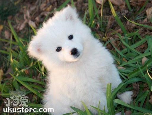 爱斯基摩犬耳朵怎么清洁 爱斯基摩犬耳朵清洁护理方法1