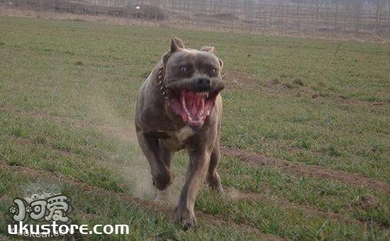 巴西非勒耳朵怎么清洁 巴西非勒犬耳朵清洁护理方法1