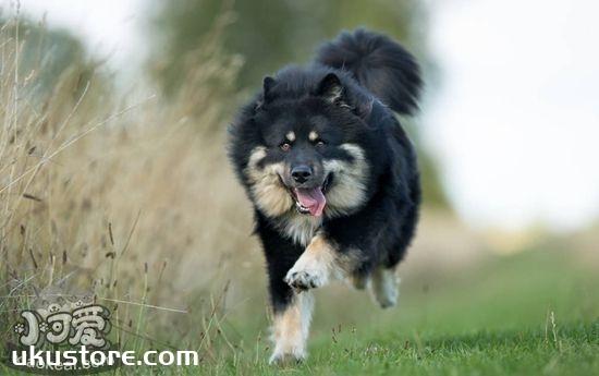 芬兰拉普猎犬好养吗 芬兰拉普猎犬饲养经验分享