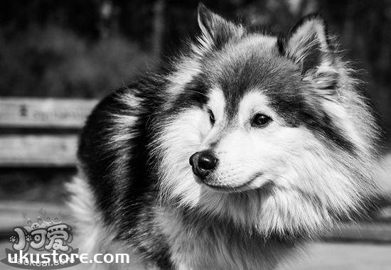 芬兰拉普猎犬性格好不好 芬兰拉普猎犬性格特点