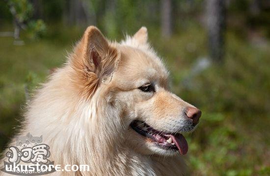 芬兰拉普猎犬毛发怎么梳理 芬兰拉普猎犬美容介绍