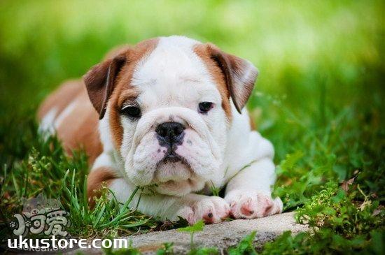 英国斗牛犬耳朵怎么清洁 英国斗牛犬耳朵护理方法1