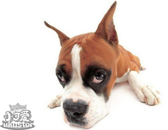 拳师犬怎么养 拳师犬饲养心得分享1