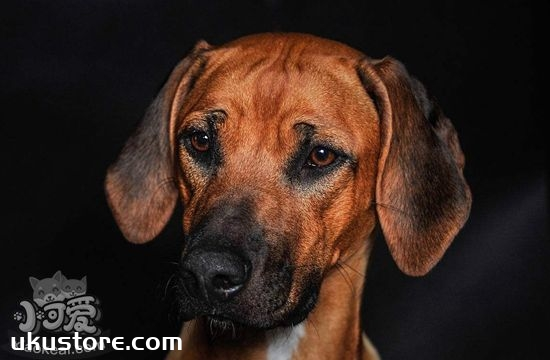 罗得西亚脊背犬怎么养 罗得西亚脊背犬饲养知识