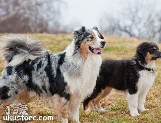 澳大利亚牧羊犬一天喂几次 成年犬每天最好喂2次