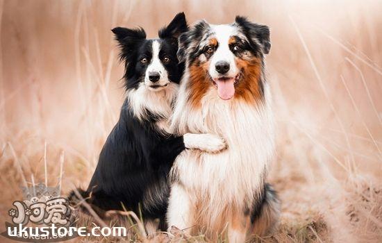 澳大利亚牧羊犬性格怎么样 澳洲牧羊犬性格特点介绍