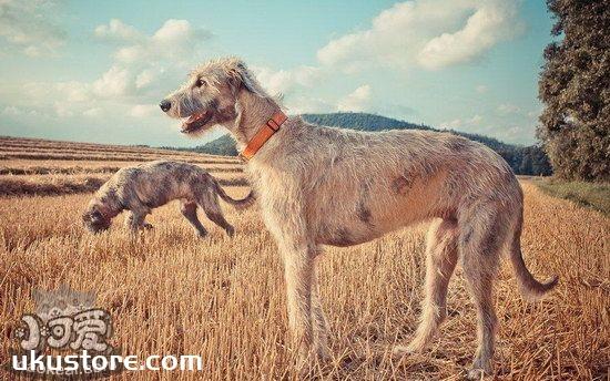 爱尔兰猎狼犬吃什么好 爱尔兰猎狼犬饮食注意事项1