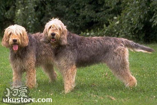 爱尔兰猎狼犬怎么洗澡 爱尔兰猎狼犬洗澡步骤1