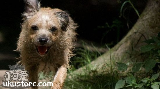 爱尔兰猎狼犬耳朵怎么清洁 爱尔兰猎狼犬耳朵护理方法1