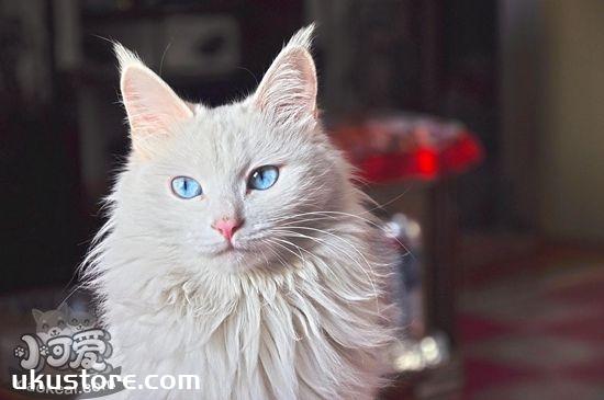猫咪耳朵怎么清理 猫咪耳朵清洁方法