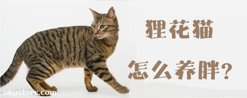 狸花猫怎么养胖