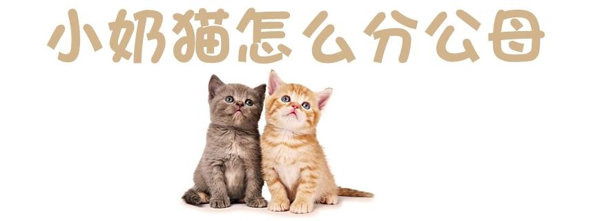 小奶猫怎么分公母