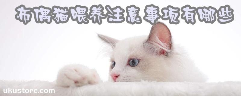 布偶猫喂养注意事项有哪些