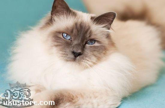 伯曼猫怎么护理 伯曼猫的护理方法1