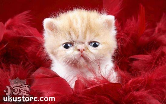 波斯猫掉毛怎么办 波斯猫掉毛的原因和应对方法1