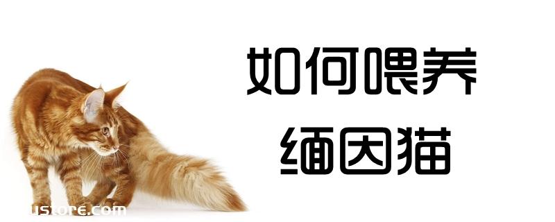 如何喂养缅因猫