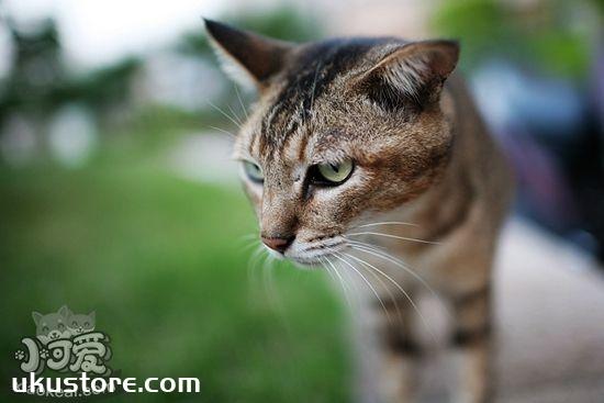 猫咪为什么舔鼻子 猫咪舔鼻子原因介绍