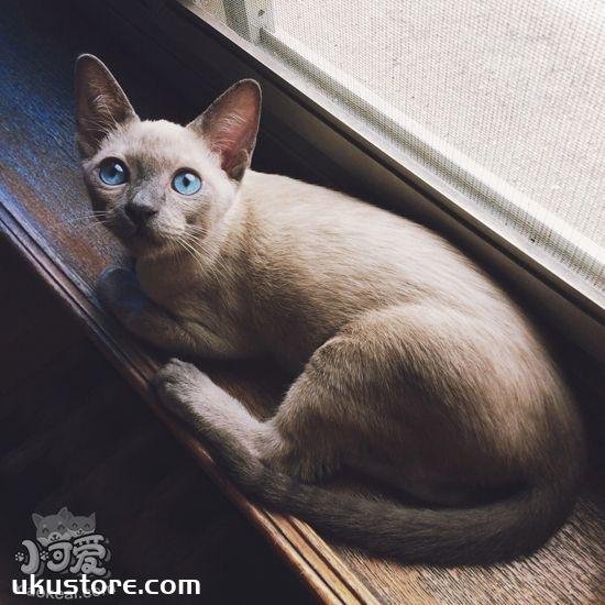 暹罗猫怎么用尾巴表达心情 暹罗猫的尾巴表达什么