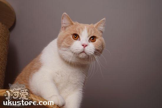 短毛猫怎么梳毛 短毛猫的七个梳毛步骤