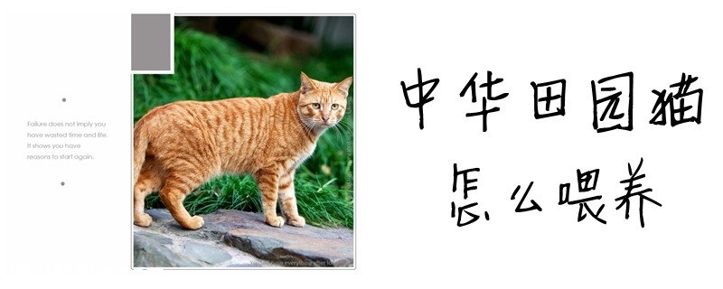中华田园猫怎么喂养