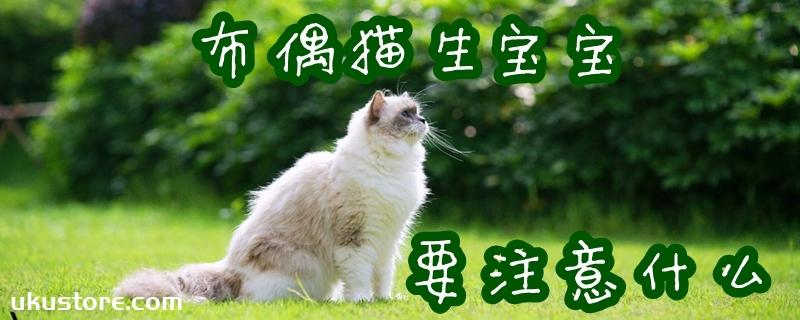 布偶猫生宝宝注意什么