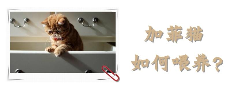 加菲猫如何喂养