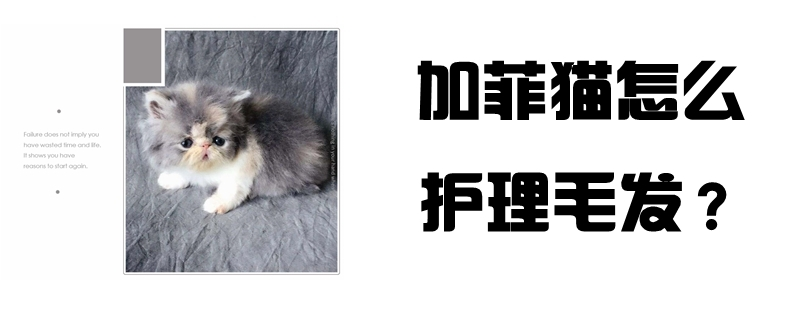 加菲猫怎么护理毛发