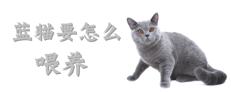 蓝猫要怎么喂养